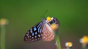 Fjäril på blomman lager videofilmer
