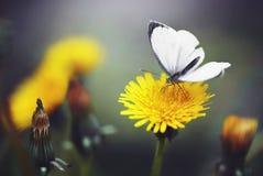 Fjäril på blomman av en maskros Royaltyfri Bild