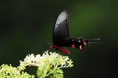 Fjäril på blomman, Byasa impediens Royaltyfri Foto