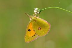 Fjäril på blomman, Colias fieldii Arkivfoto