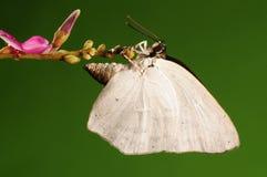 Fjäril på blomman, Curetis acuta Arkivfoto