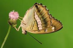 Fjäril på blomman, Euthalia thibetana Arkivbild