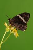Fjäril på blomman, Lobocla bifasciata Arkivbild