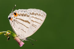 Fjäril på blomman, Lycaenidae Royaltyfri Bild