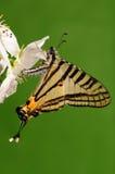 Fjäril på blomman/Pazala timur Arkivbild