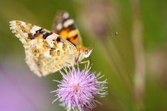 Fjäril på blomman som matar på nektar Arkivbilder