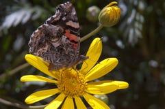 Fjäril på blommor Arkivfoto