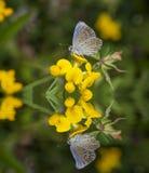 Fjäril på blommor och reflexion Fotografering för Bildbyråer