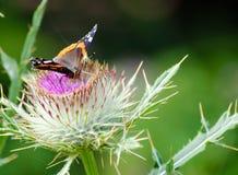 Fjäril på bomullstistel Fotografering för Bildbyråer