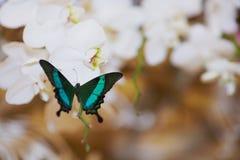 Fjäril på bröllopblommor Arkivbild
