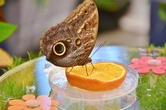 Fjäril på citronen Fotografering för Bildbyråer