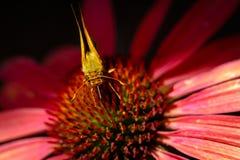 Fjäril på coneflower Royaltyfri Fotografi