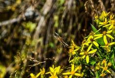 Fjäril på de gula blommorna Arkivfoton