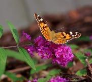 Fjäril på den blommaBuddleja davidiien Arkivfoto
