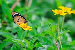 Fjäril på den gula blomman Arkivbild
