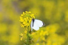 Fjäril på den gula lösa blomman Arkivfoton
