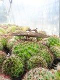 Fjäril på den kaktusMammillariaBeneckei variegataen arkivbilder