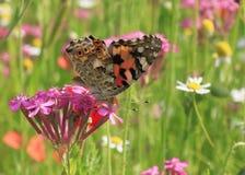 Fjäril på den lösa blomman Royaltyfria Bilder