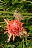 Fjäril på den röda blomman Arkivfoton