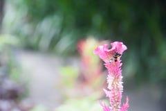 Fjäril på den rosa tuppkamblomman som blommar, lodisar (för Celosiacristata) Royaltyfri Bild