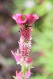 Fjäril på den rosa tuppkamblomman som blommar, lodisar (för Celosiacristata) Royaltyfria Bilder