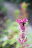Fjäril på den rosa tuppkamblomman som blommar, lodisar (för Celosiacristata) Royaltyfria Foton