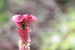 Fjäril på den rosa tuppkamblomman som blommar, lodisar (för Celosiacristata) Arkivbild
