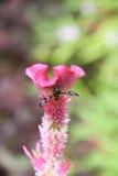 Fjäril på den rosa tuppkamblomman som blommar, lodisar (för Celosiacristata) Royaltyfri Foto