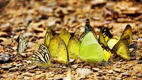 Fjäril på den thailändska nationalparken Royaltyfria Foton