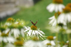 Fjäril på den vita blomman Royaltyfri Foto