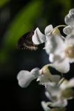 Fjäril på den vita blomman Arkivbild
