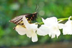 Fjäril på den vita orkidén Royaltyfria Bilder