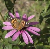 Fjäril på echinaceablomman i en trädgård Arkivfoto
