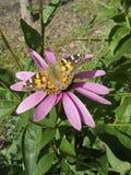 Fjäril på echinaceablomman i en trädgård Royaltyfri Fotografi