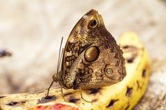Fjäril på en banan Arkivfoton