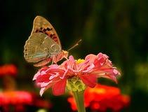 Fjäril på en blomma Royaltyfria Bilder
