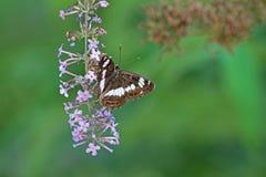 Fjäril på en blomma Arkivfoton