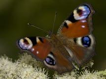 Fjäril på en blomma Arkivfoto