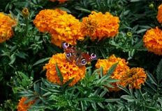 Fjäril på en blomma Royaltyfria Foton