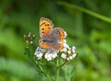 Fjäril på en blomma fotografering för bildbyråer