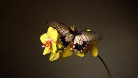 Fjäril på en blomma lager videofilmer