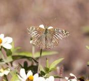 Fjäril på en blomma i natur Arkivbilder