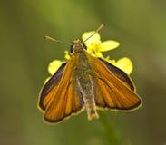 Fjäril på en blomma (Thymelicus sylvestris) royaltyfria bilder