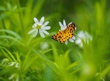 Fjäril på en blomning Fotografering för Bildbyråer
