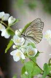Fjäril på en filial av jasmin Arkivbild