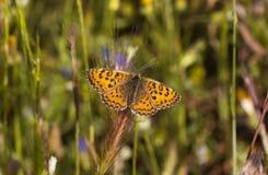 Fjäril på en grov spik (nymphalidaen - den Melitaea småsaker) arkivbilder