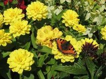 Fjäril på en gul blomma Fotografering för Bildbyråer