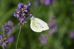 Fjäril på en härlig blomma Arkivfoton