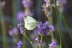 Fjäril på en härlig blomma Arkivbilder