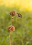 Fjäril på en kärna urfröskida Arkivbilder